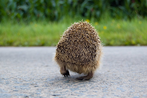 A Hedgehog's Back | by Denis Defreyne