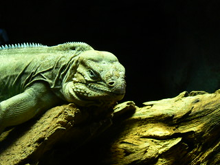 Rock Iguana in Madrid Zoo | by amateur_photo_bore