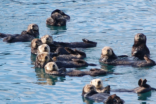Cordova Alaska- Sea Otters chilling out and checking us out | by kristymama3