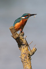 Kingfisher (with a fish) | by markkilner