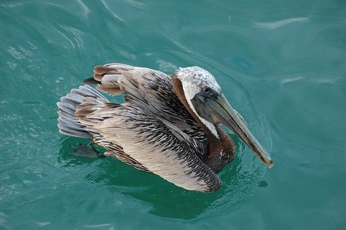 pelican | by Tom Gill.