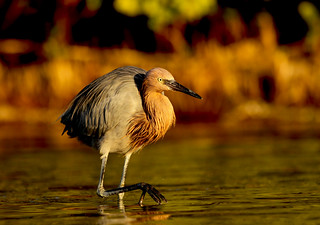 Reddish Egret on the Prowl | by p simmons