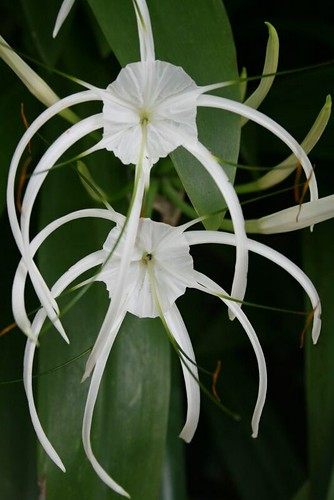 Graceful flowers these white flowers have gracefully long lim graceful flowers by lspeng graceful flowers by lspeng mightylinksfo