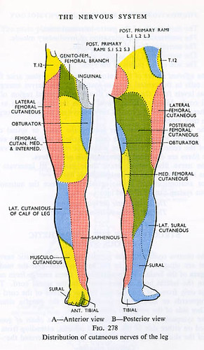 Nerves of the legs. | From \'Foundations Of Anatomy & Physiol… | Flickr