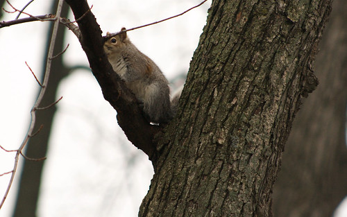 Gray squirrel | by ffg