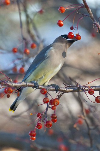 Waxwing Dinner | by Jim McConnell