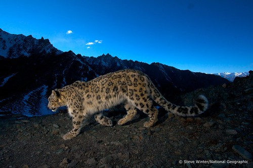Snow leopard against a mountain backdrop - Ladakh, India | by Panthera Cats