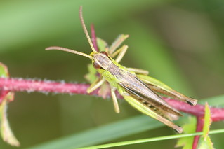 Grasshopper | by webmink