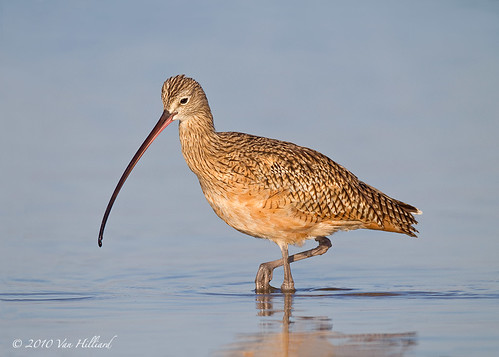 Long-Billed Curlew | by vanessa hilliard
