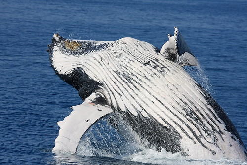 Hervey Bay Whales 3938 | by Michael Dawes