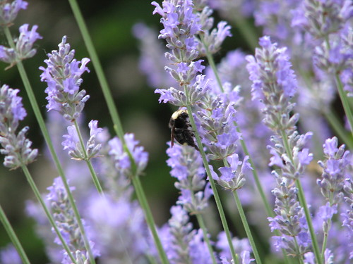 Lavender Bee | by Lana_aka_BADGRL