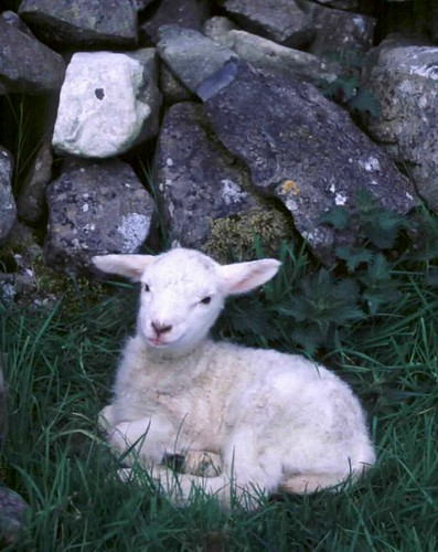 Young Irish Lamb | by moonjazz