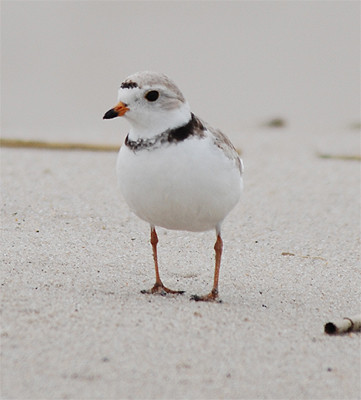 Piping Plover | by Billtacular