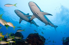 Reef sharks | by WIlly Volk
