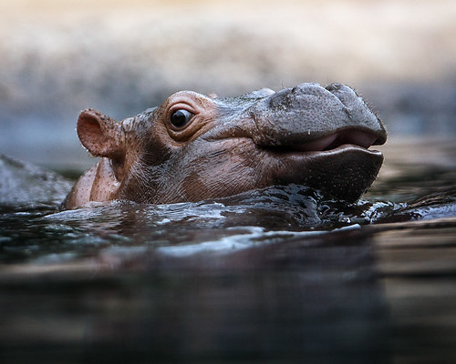 Little Hippopotamus | by andreas lem