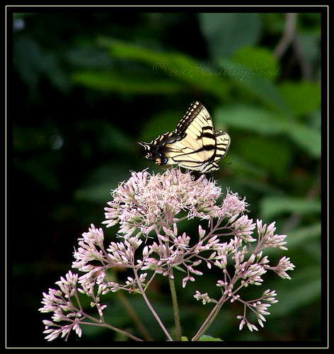 Swallowtail 2 | by Beckie Fitzgerald