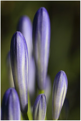 Blue Buds | by musapix