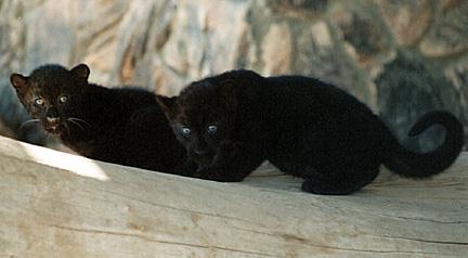 Black Panther Cubs