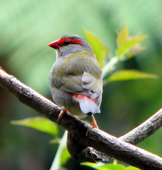 red-browed finch | by Abizeleth