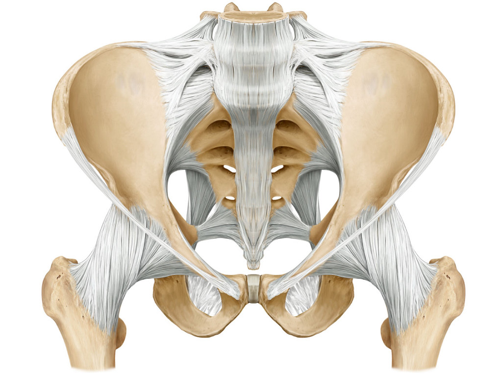 Ligaments - Anterior Pelvis | Donny Perry | Flickr