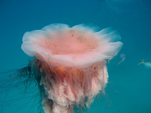 Lion's Mane Jellyfish | by Phil Hartell