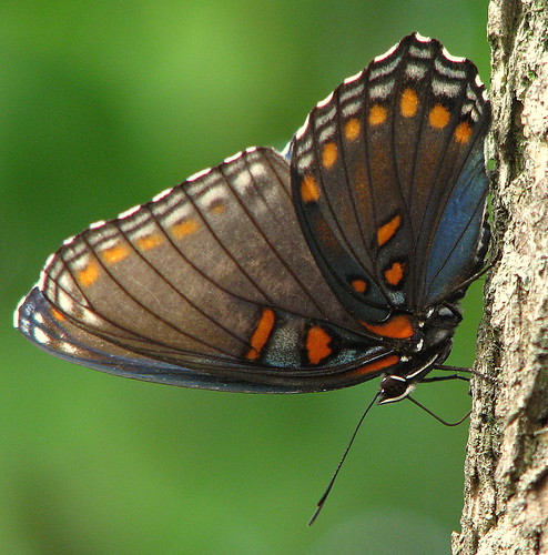 Side View- Red-Spotted Purple | by Trish Overton