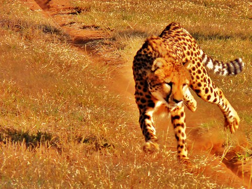 Cheetah Run 2 | by David W. Siu