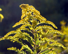 Goldenrod (Solidago canadensis) | by Metrix X