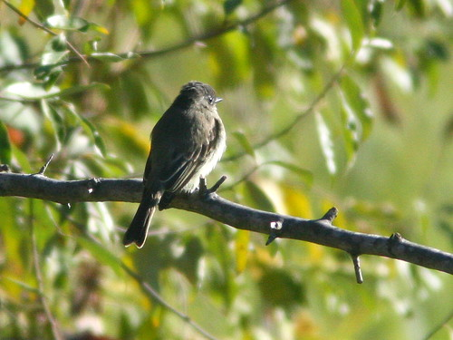 Eastern Phoebe 20101021 | by Kenneth Cole Schneider