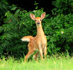 Another Fawn 2 | by Trish Overton