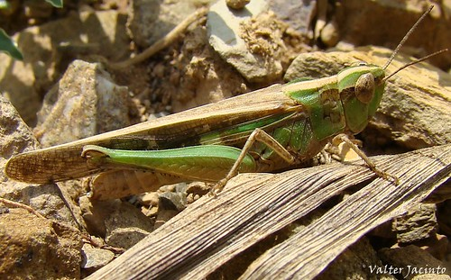 Gafanhoto // Grasshopper (Aiolopus puissanti), female | by Valter Jacinto | Portugal