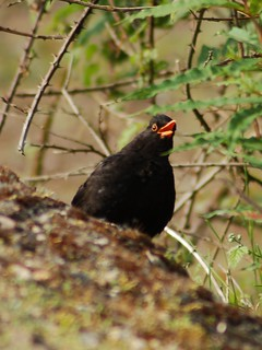 Blackbird | by whitbywoof