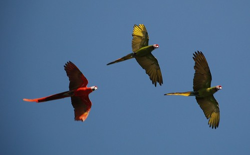 3 macaws in flight | by lil moe72