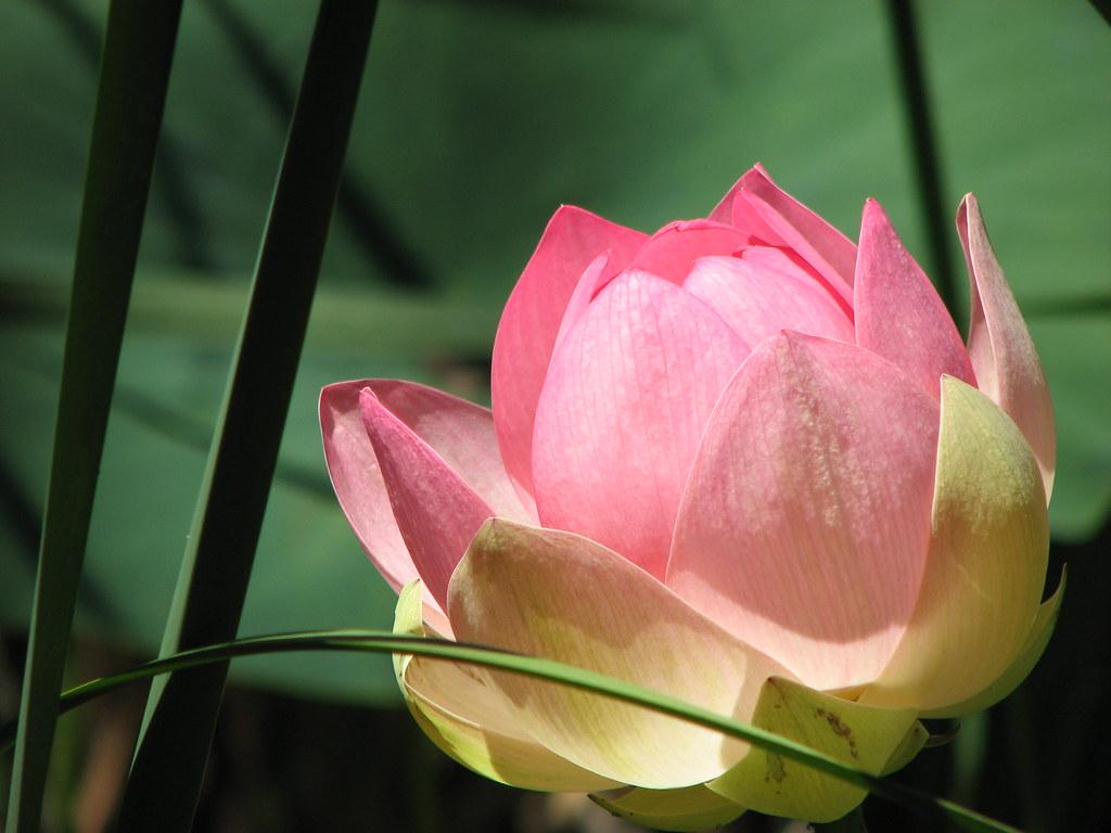 Lotus flower rising from the mud nabha cosley flickr lotus flower rising from the mud by nabha izmirmasajfo