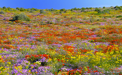 Namaqualand wild flowers | by Martin_Heigan