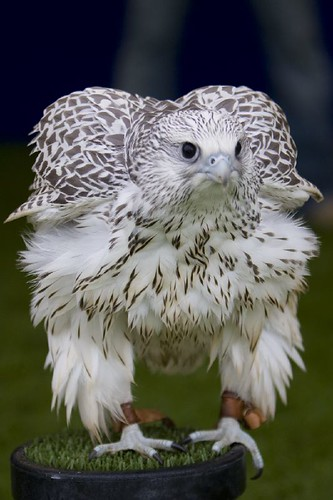 Gyr Falcon 'fluffing up' | by BrianScottImages