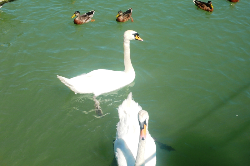 Swans on the river Aare at Altreu