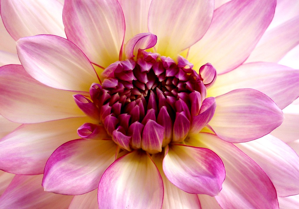 The Most Beautiful Flower in the World   I\'m opinionated. Ma…   Flickr