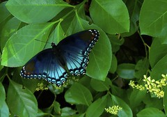 Red-spotted Purple | by Vicki's Pics