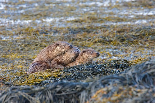 Otters   Isle of Mull | by martin.bennett26