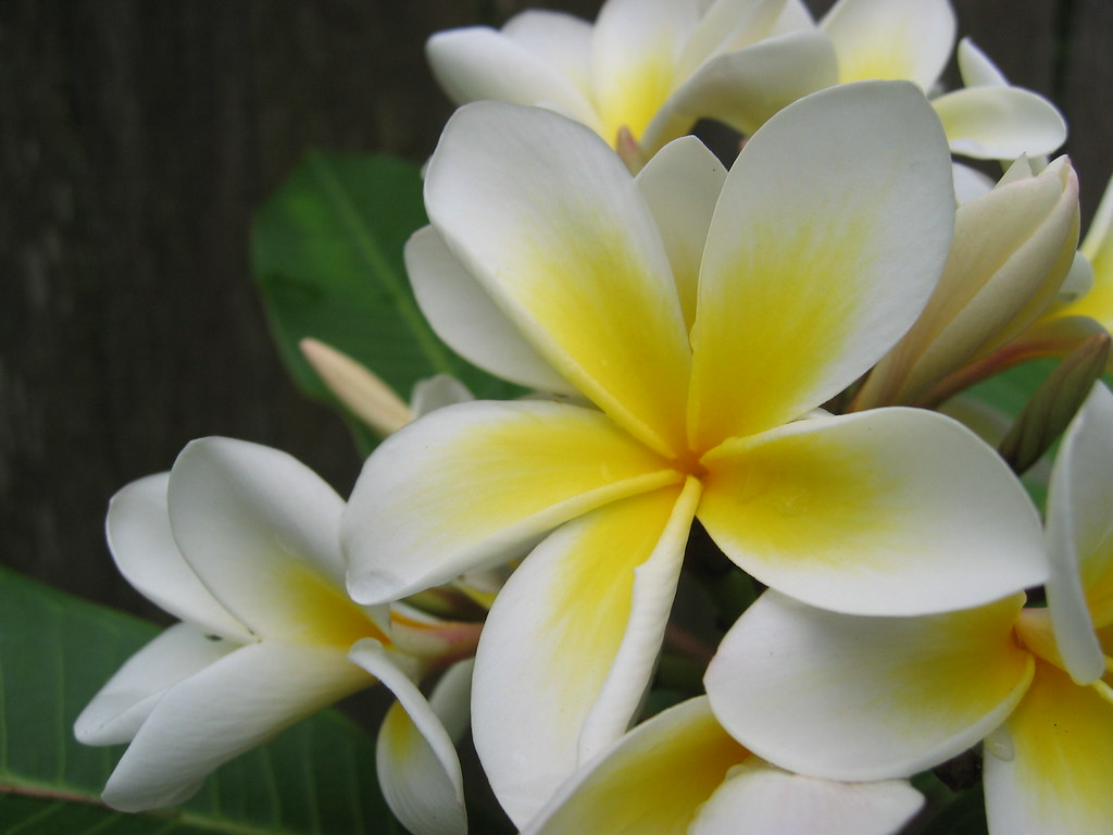 White flower plumeria alba west indian jasmine flickr white flower plumeria alba west indian jasmine by kamikadse izmirmasajfo
