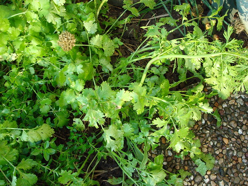 Cilantro/Coriander | by Dawn May Christ