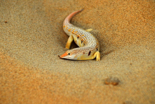 Sand Fish 3 | by thew...g