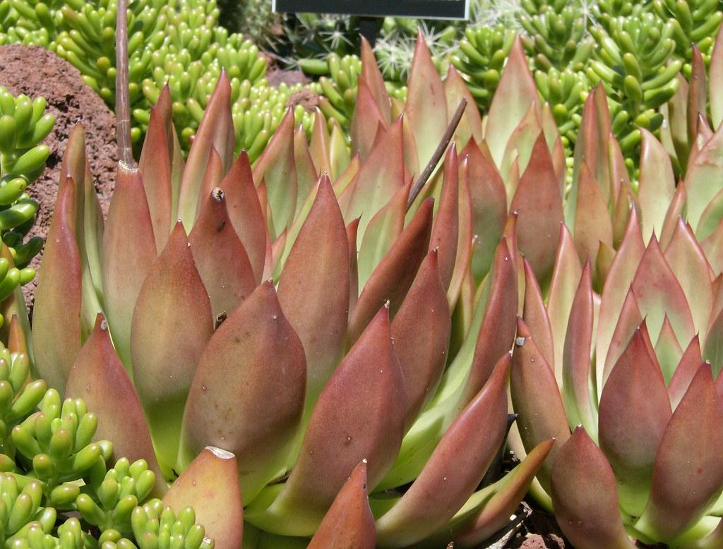 echeveria agavoides - Mexico | U S BOTANIC GARDEN ~ WASHINGT… | Flickr