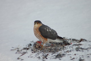 Sharp Shinned Hawk clawing smaller bird | by Larry Sarris