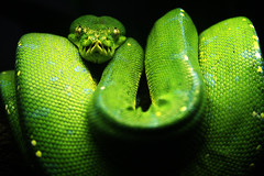Green Tree Python | by nasmac