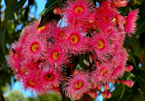 Corymbia ficifolia pink flowering gum copyright all ri flickr corymbia ficifolia pink flowering gum by black diamond images mightylinksfo