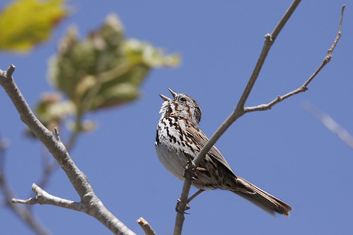 Song Sparrow in song | by Alan Vernon.