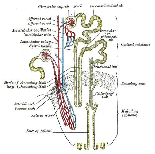 Peritoneal Dialysis Nephron Diagram Womens Committee