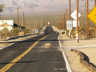 Coyote in the Road, Kelso, California 09.15.2007 | Poor fell… | Flickr
